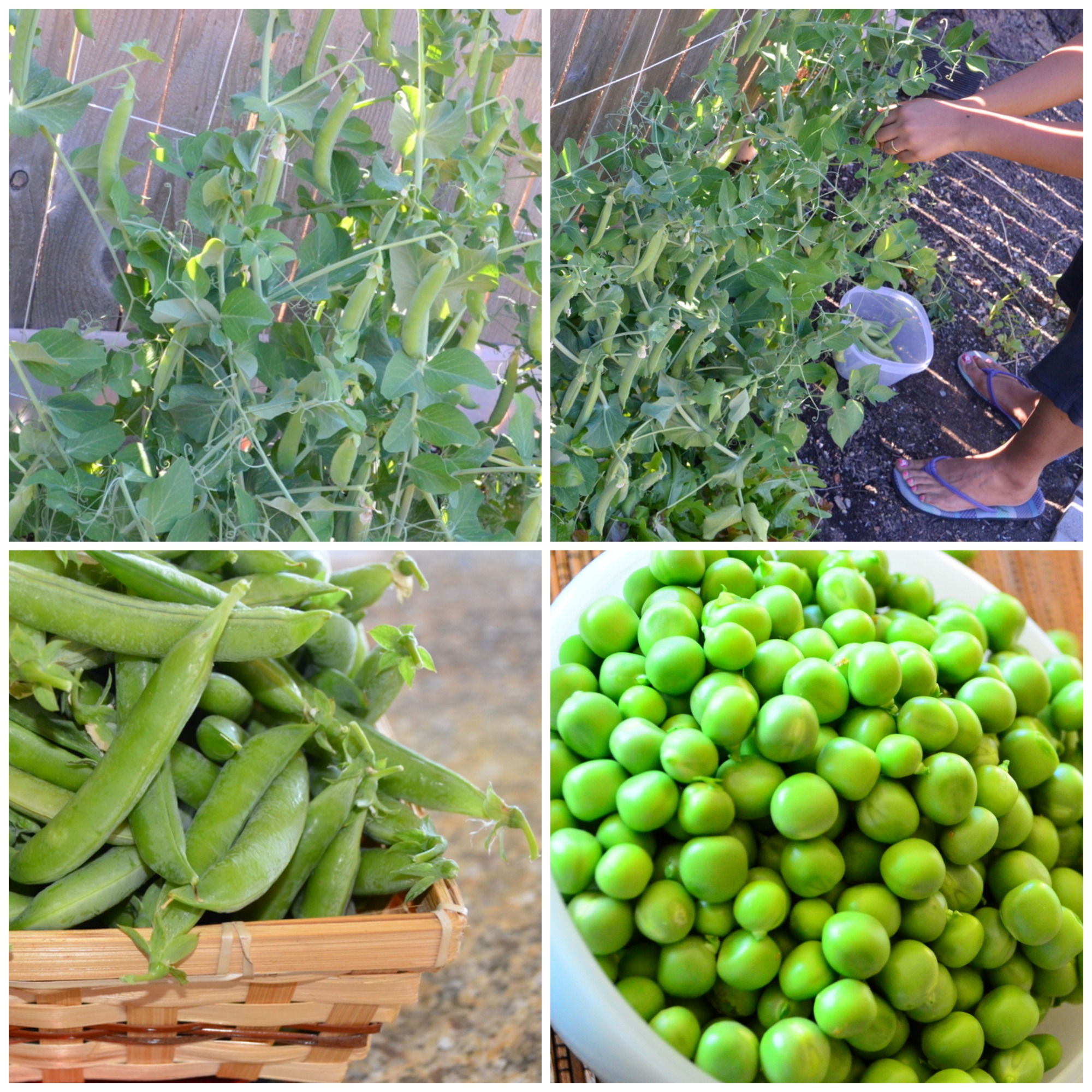 GreenPeas_collage